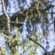 Liito-orava liitää metsässä