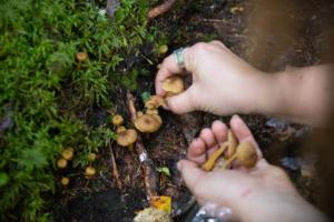 Ihminen kerää suppilovahveroita käteensä metsässä. En människa plockar svamp i sin hand.
